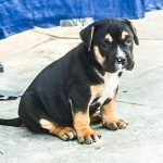 Art Of War's Jinx Black tri color XL Pitbull female Puppy Xtri XL bully puppies for sale