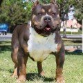 Sin city Bullies SCB's Trump Blue tri color XL Pitbull XL Bully Bossy Kennels Adios